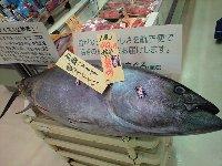マグロ 1匹 40万円